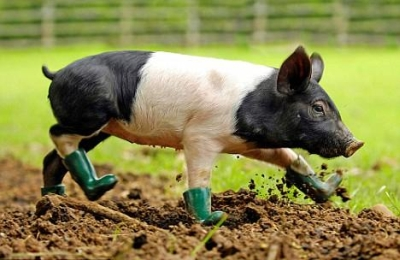 pig-in-boots-400x260